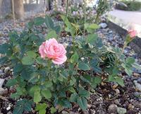 ピンクのバラ-1_H28-1126.jpg