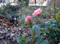 ピンクのバラ-2_H28-1126.jpg